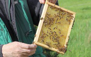 Die Bienen auf dem Bienenlehrpfad stechen den Imker nur selten